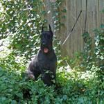 Zak is our champion male and father of the ltter pictured on the site.  He is a very typical Giant Schnauzer.  Loves your companionship,  is very mischievous, courageous and  welcomes people with the correct introduction.  One of the most outgoing hard coated male.